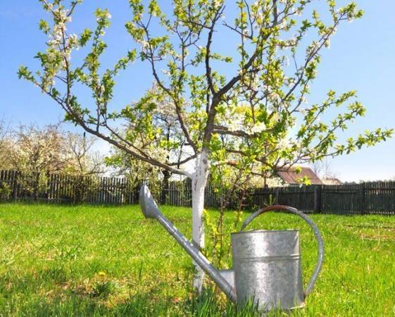 Правильная подкормка плодовых деревьев и кустарников весной