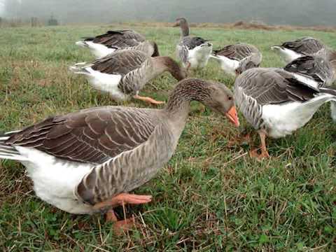 Какие бывают породы гусей? Крупные породы гусей