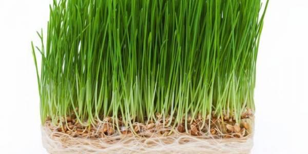 Пророщенная пшеница: польза и рецепты