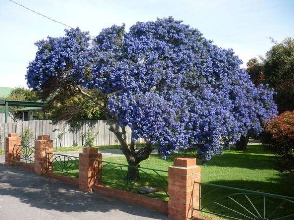 Растение Цеанотус: Фото, виды, выращивание, посадка и уход