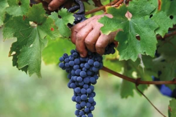 Как и когда правильно собирать виноград