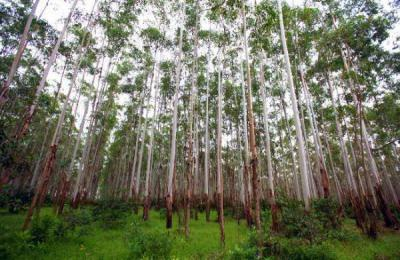 Эвкалипт (дерево) где растет? Высота эвкалипта