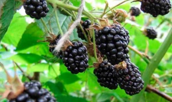 Агротехника выращивания ежевики в Сибири: как сажать, поливать, подкармливать, обрезать и укрывать