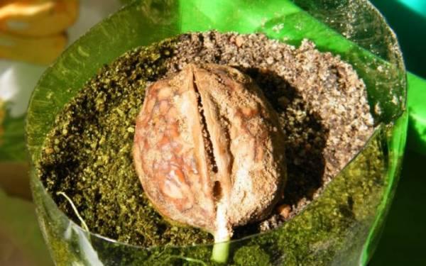 Как вырастить дерево из плода ореха грецкого