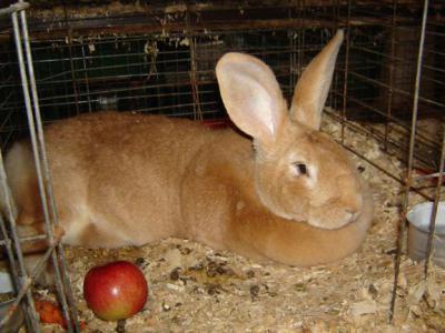 Бельгийский великан - кролик гигантских размеров (фото)
