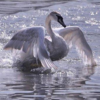 Сколько живут лебеди в естественных условиях