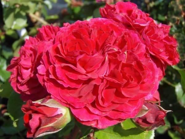 Роза Леонардо да Винчи: описание и отзывы