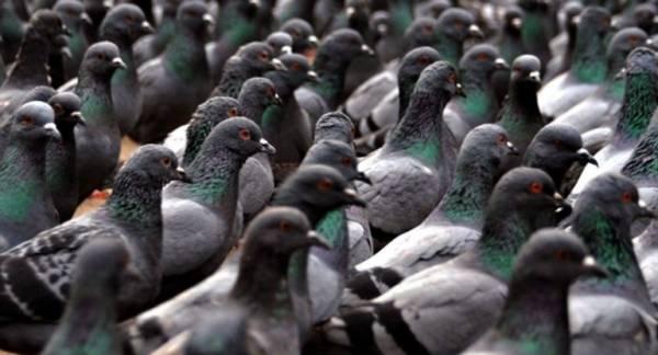 Как избавиться от надоедливых голубей - ТОП 7 лучших методов
