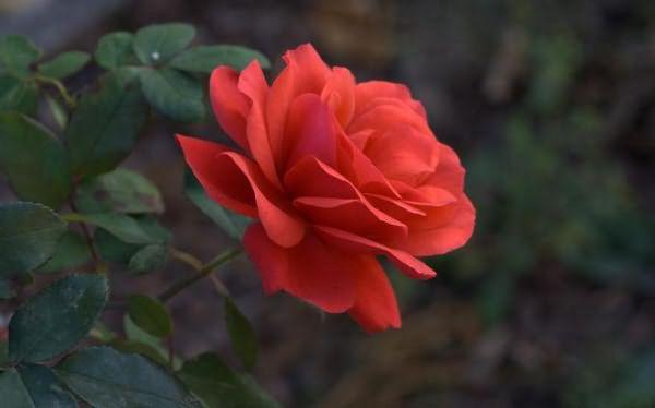 7 Роз значение