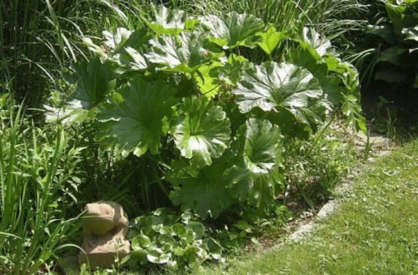 Как выращивать астильбоидес пластинчатый и ухаживать за ним