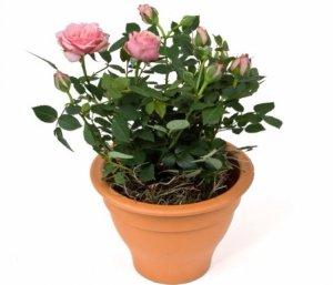 Как правильно ухаживать за чайными розами в домашних условиях