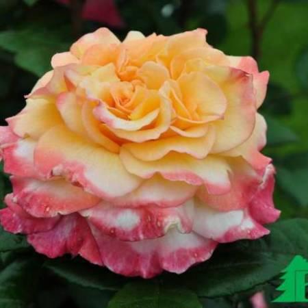 Роза Акварель (Rose Aguarell)