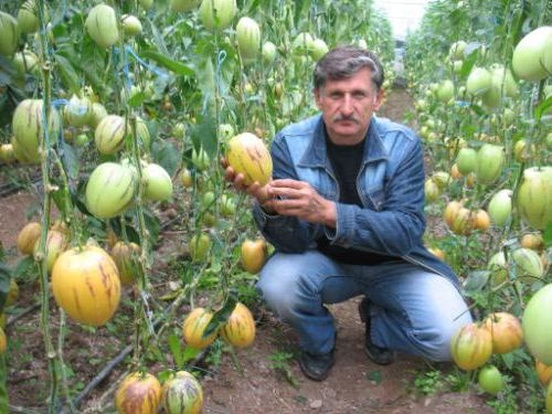 Пепино: выращивание в домашних условиях