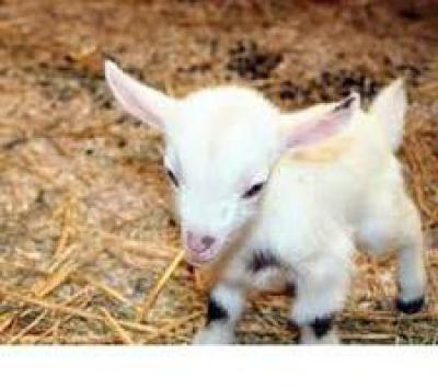 Кормление козлят с первых дней жизни