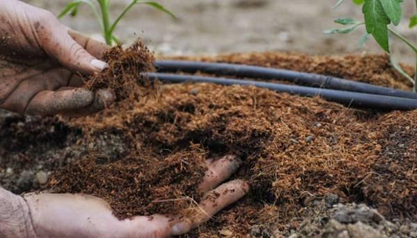 Описание и выращивание томата «Красные щёчки» для открытого грунта