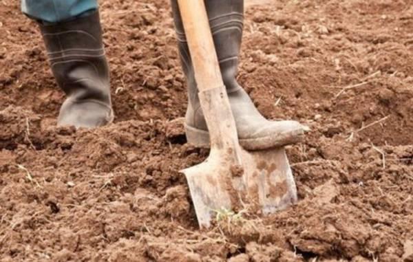 Как правильно посадить картофель «под лопату»