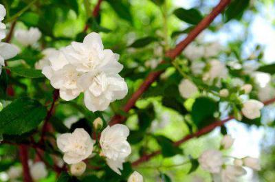Как посадить жасмин весной? Посадка кустарника на даче