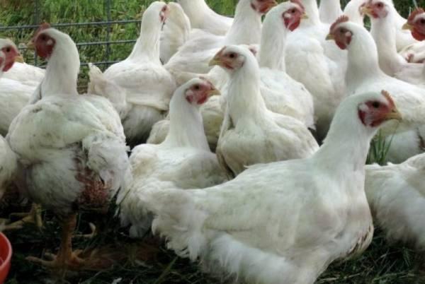 Технология выращивания цыплят бройлеров на птицефабрике