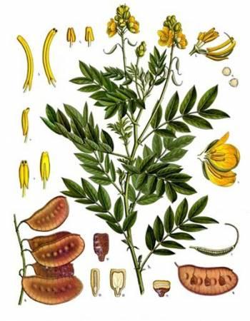 Александрийский лист для похудения: отзывы