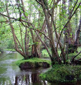 Как выглядит дерево ольха? Фото и описание