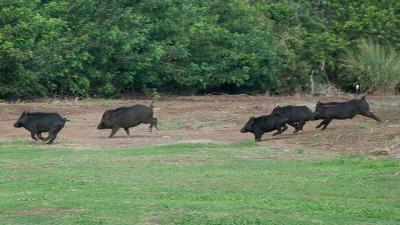 Африканская чума свиней: опасность для человека