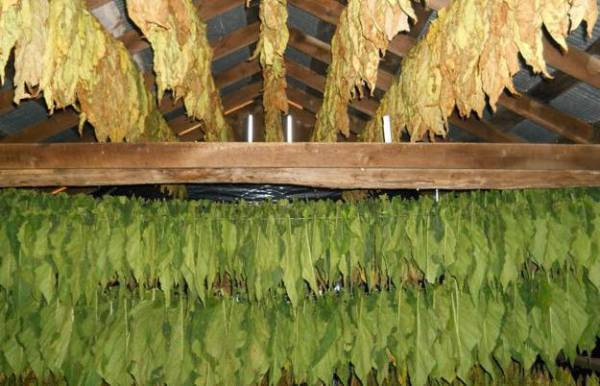 Ферментация табака в домашних условиях в микроволновке