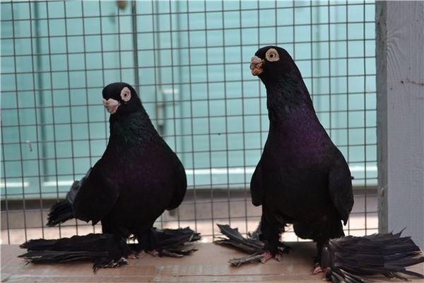 Какие бывают виды Армавирских голубей