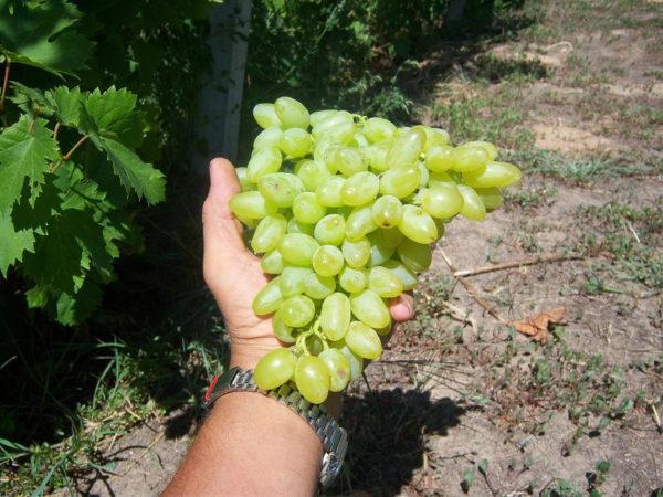 21 лучший сорт винограда в разных категориях