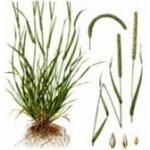 Тимофеевка луговая - описание и фото травы
