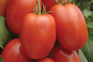 Сорта помидоров для Сибири - критерии выбора, лучшие томаты для холодного климата