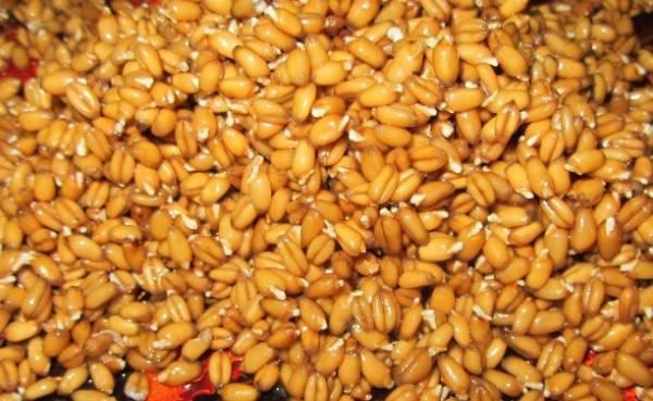 Живительная сила пророщенной пшеницы - польза и вред