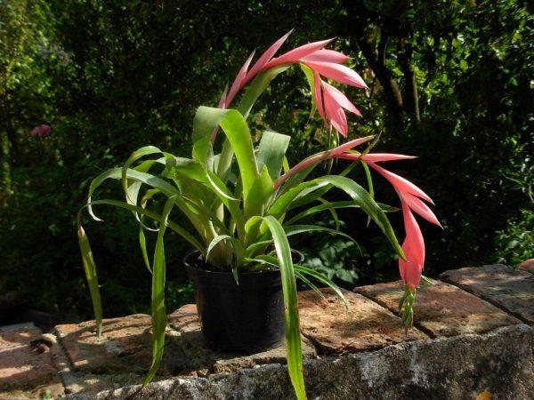 Цветок Бильбергия: правила выращивания и уход в домашних условиях