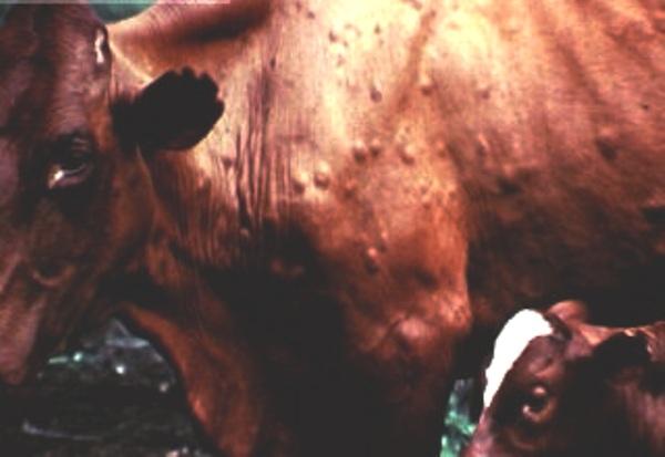 Какие бывают болезни у коров, как их предотвратить и вылечить