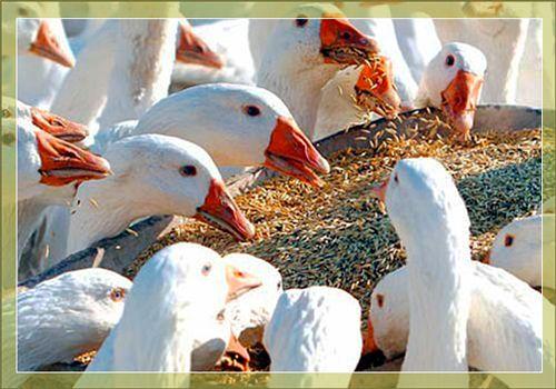 Чем кормить гусей зимой и летом