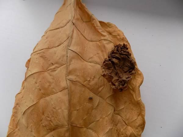 Ферментация табака в домашних условиях