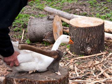 Лучшие методы ощипывания гуся