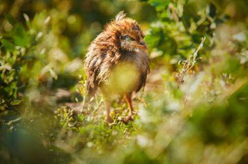 Что такое кокцидиоз у цыплят, его симптомы и лечение