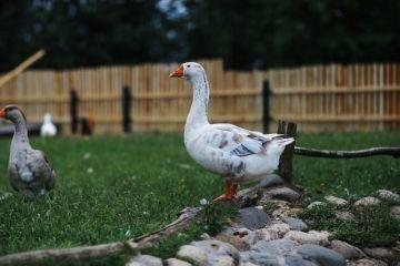Гусенок гусенку рознь: как кормить и ухаживать за гусятами с первого месяца жизни