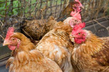 Колибактериоз у кур: особенности протекания и лечения болезни