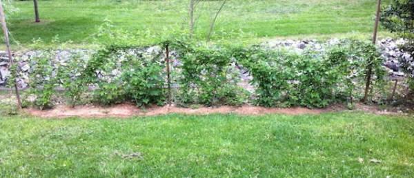 Ежемалина садовая посадка и уход Обрезка и размножение ежемалины Лучшие сорта с фото