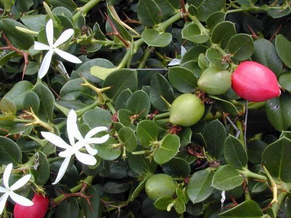 Цветы карисса Уход в домашних условиях Размножение комнатной сливы Фото видов