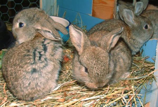 Кормление кроликов должно быть своевременным и правильным