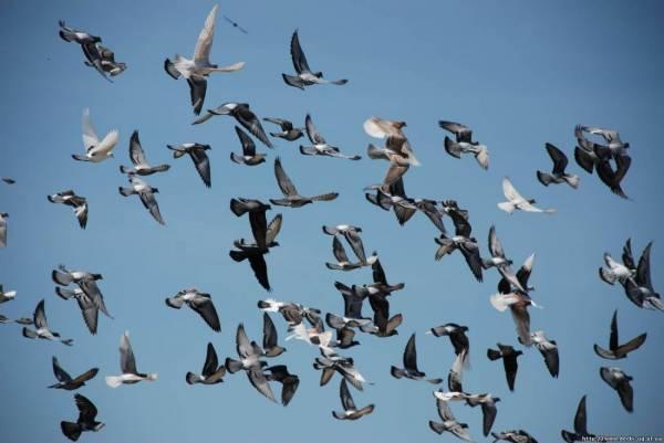 Голуби породы Кинг: описание данного и других видов птиц