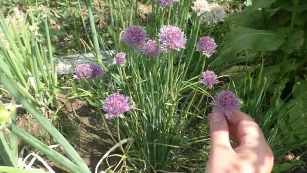 Как вырастить лук шнитт из семян в открытом грунте и на рассаду Посадка и уход Фото и описание сортов