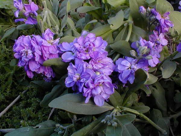 Маттиола двурогая и седая Выращивание из семян Когда сажать? Посадка и уход Фото видов и сортов