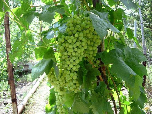 Особенности посадки и ухода за виноградом в Подмосковье