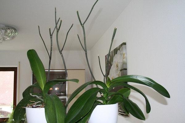 Что делать со стрелкой после завершения цветения орхидеи