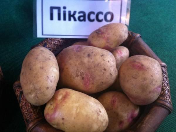 Один из самых популярных сортов картофеля: Пикассо - описание, характеристика, фото
