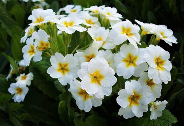 Цветок примула комнатная Уход в домашних условиях Выращивание из семян Фото сортов