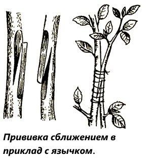Популярные технологии прививки плодовых деревьев